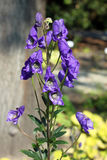 Chinesisches Akonit u. x28; Aconitum carmichaelii& x29; Blumen Stockbilder