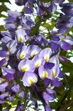 Chinesisches farbige Blütennahaufnahme der Glyzinie purpurrotes Blau Lizenzfreie Stockbilder