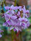 Chinesisches Grundorchideenblühen Lizenzfreies Stockbild