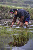Chinesisches Landwirtmädchen Verpflanzungsreis-Sämlinge in den Reis P Lizenzfreie Stockfotografie