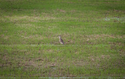 Chinise Pond Heron in Vietnam. Chinese Pond heron at rice field Royalty Free Stock Photo