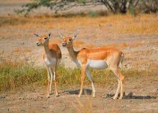 Chinkara或印地安瞪羚在森林里 库存图片