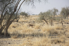Chinkara, also known as the Indian Gazelle Royalty Free Stock Image