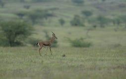 Chinkara che si alimenta nel pascolo a Supe Fotografia Stock