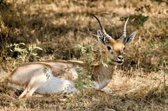Chinkara Stock Image