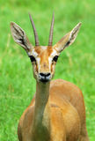 Chinkara deer Royalty Free Stock Photo