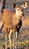 Chinkara deer Royalty Free Stock Photos