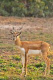 Chinkara deer Royalty Free Stock Image