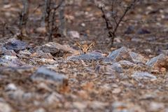 Chinkara or Gazella bennettii or Indian gazelle fawn split with her mother and found alone at ranthambore. Tiger reserve, india stock photography