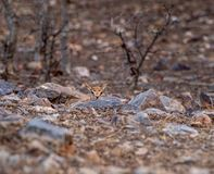 Chinkara or Gazella bennettii or Indian gazelle fawn split with her mother and found alone at ranthambore. Tiger reserve, india stock images