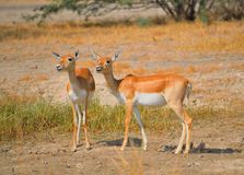 Chinkara or Indian gazelles in the forest. stock images