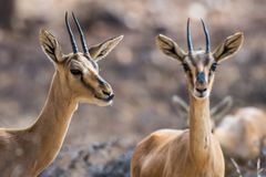 Free Chinkara Or Indian Gazelle In Alert Mode Stock Photography - 141759462
