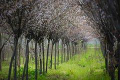 Chino Cherry Blossom Spring Forest Imágenes de archivo libres de regalías