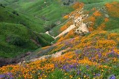 Chino Hills Wildflower. California Golden Poppy and Phacelia Minor blooming in Chino Hills State Park, California stock photos