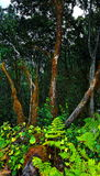 Chinobre Wald Lizenzfreie Stockfotos