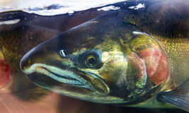 Chinook Coho Salmon Close Up Issaquah Hatchery Washington State. Salmon Head Close Up Issaquah Hatrhery Washington.  Salmon swim up the Issaquah creek and are Royalty Free Stock Photography