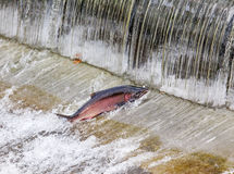 Chinook Coho Salmon Jumping Issaquah Hatchery Washington State. Salmon Jumping Dam Issaquah Hatrhery Washington.  Salmon swim up the Issaquah creek and are Stock Photography