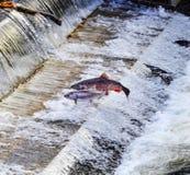 Chinook Coho Salmon Jumping Issaquah Hatchery Washington State royalty free stock image