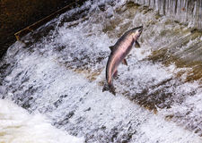 Chinook Coho Salmon Jumping Issaquah Hatchery Washington State Stock Photos