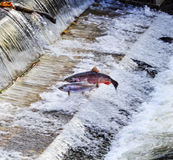 Chinook-Coho-Salmon Jumping Issaquah Hatchery Washington-Zustand Lizenzfreies Stockbild