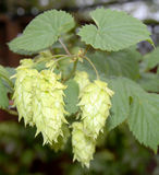 Chinook hop vine. Showing mature hops Royalty Free Stock Photos