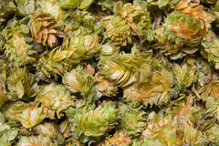Chinook leaf hops Stock Image