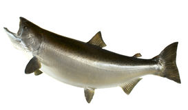 Chinook Salmon Stock Image