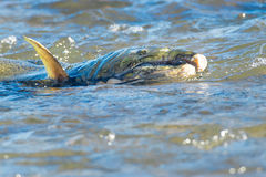 Chinook Salmon. Dying Chinook Salmon rolling in the shallow water after mating Royalty Free Stock Photo