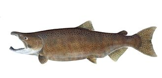 Chinook salmon isolated. A male Chinook salmon in freshwater spawning colors isolated on a white background Royalty Free Stock Images