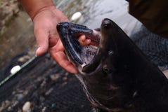 Chinook Salmon Mouth - oncorhynchus tshawytscha fotografie stock libere da diritti