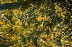 Spawning Chinook Salmon in low water levels, Ketchikan Creek, Alaska, USA. royalty free stock photos