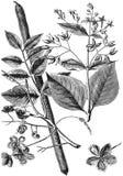 Chinowa drzewo Casse royalty ilustracja