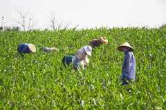 Chinsee Farmers Royalty Free Stock Photos