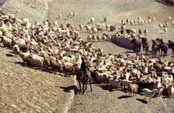 Chinsee-Hirt mit Schafen Lizenzfreie Stockbilder