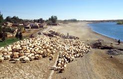 Chinsee-Hirt mit Schafen Lizenzfreies Stockfoto