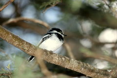 Chinspot batis Royalty Free Stock Images