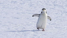Chinstarp Penguin on the snow Royalty Free Stock Image
