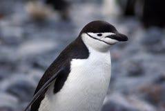 Chinstrap企鹅在南极洲 图库摄影