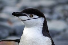 Chinstrap企鹅在南极洲 库存照片