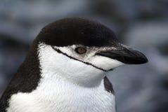 Chinstrap企鹅在南极洲 库存图片