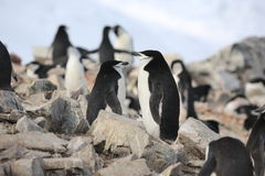 Chinstrap企鹅在南极洲作梦 免版税库存图片