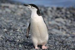 Chinstrap企鹅在南极洲 免版税库存照片
