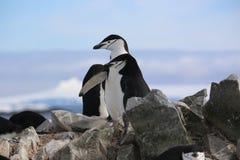 Chinstrap企鹅在南极洲 免版税库存图片