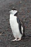 Chinstrap企鹅特写镜头捕鲸船` s海湾,南极洲 免版税库存照片