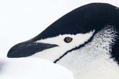Chinstrap企鹅的画象 库存图片