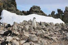 Chinstrap企鹅群在南极洲 免版税库存图片