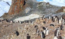Chinstrap企鹅聚集在岩石的家庭成员 免版税库存图片