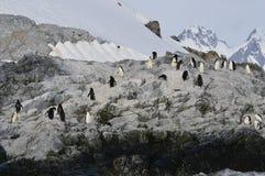 Chinstrap企鹅谢尔瓦小海湾,南极洲 免版税库存图片