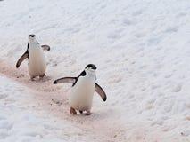 Chinstrap企鹅 免版税图库摄影