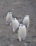 Chinstrap cztery pingwinu Zdjęcia Royalty Free